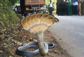 Da li je slika ove sedmoglave kobre prava?